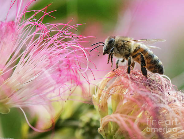 Mimosas Photograph - Honey Bee On Mimosa Flower by Mitch Shindelbower