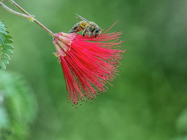 Photograph - Honey Bee by Tam Ryan
