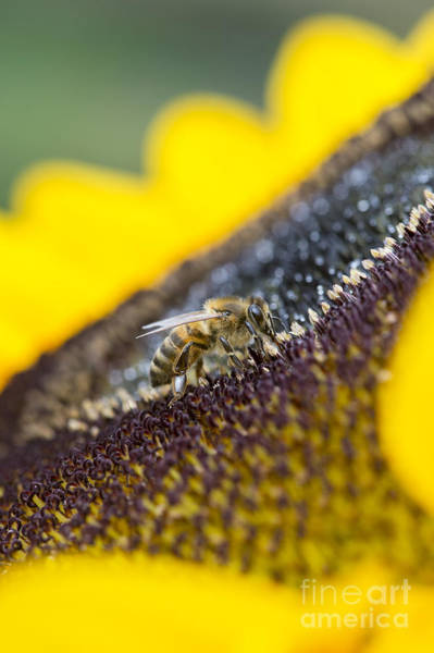 Pollinator Wall Art - Photograph - Honey Bee by Tim Gainey