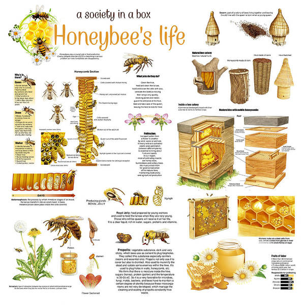 Honeybees Wall Art - Drawing - Honey Bees Infographic by Gina Dsgn
