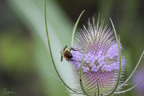 Photograph - Honey Bum by Rasma Bertz