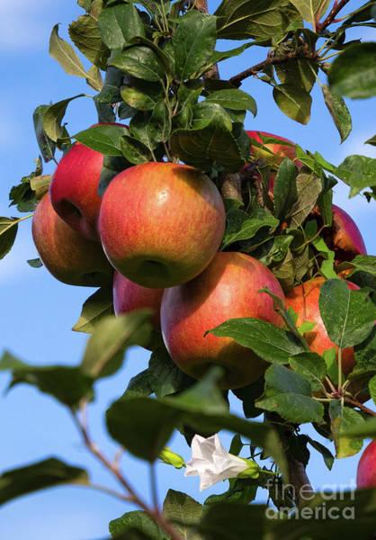 Photograph - Honey Crisp Apples, Thomson's Orchard, New Gloucester, Me #50035 by John Bald