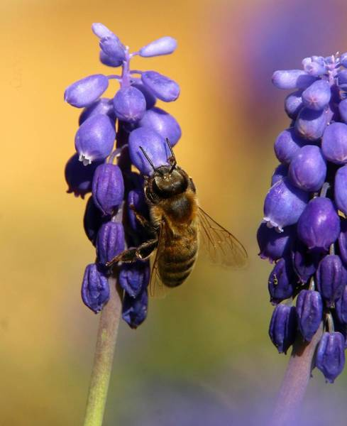 Wall Art - Photograph - Honeybee And Grape Hyacinth by Chris Berry