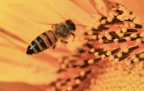 Wall Art - Photograph - Honeybee And Sunflower by Chris Berry