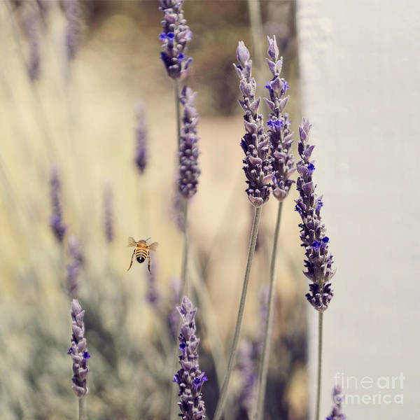 Photograph - Honeybee Flying By Lavender by Cindy Garber Iverson