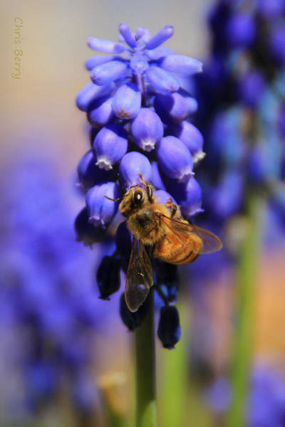 Wall Art - Photograph - Honeybee In A Sea Of Blue by Chris Berry
