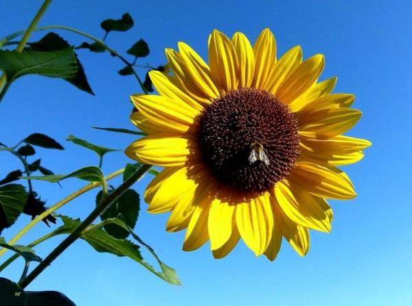 Wall Art - Photograph - Honeybee On A Sunflower by Will Borden