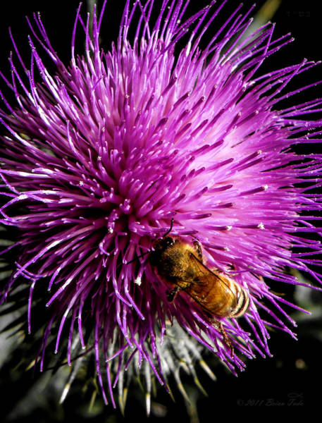 Photograph - Honeybee On Thistle Blossom by Brian Tada