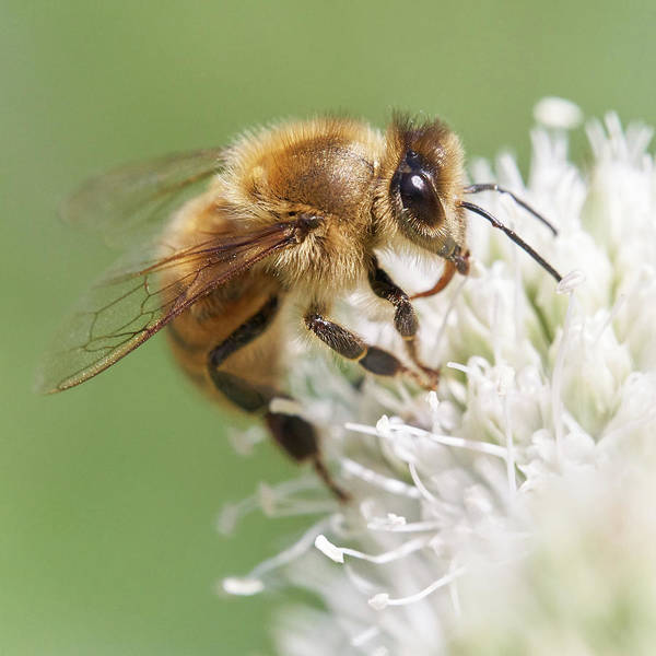 Bee Hive Photograph - Honeybee On Rattlesnake Master by Jim Hughes