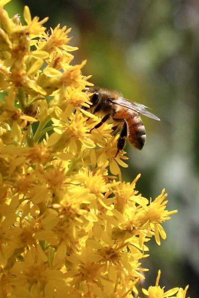 Honeybee On Showy Goldenrod Art Print