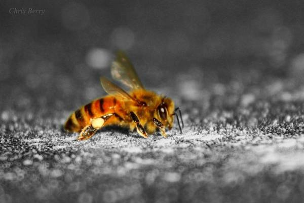 Wall Art - Photograph - Honeybee On Silver by Chris Berry