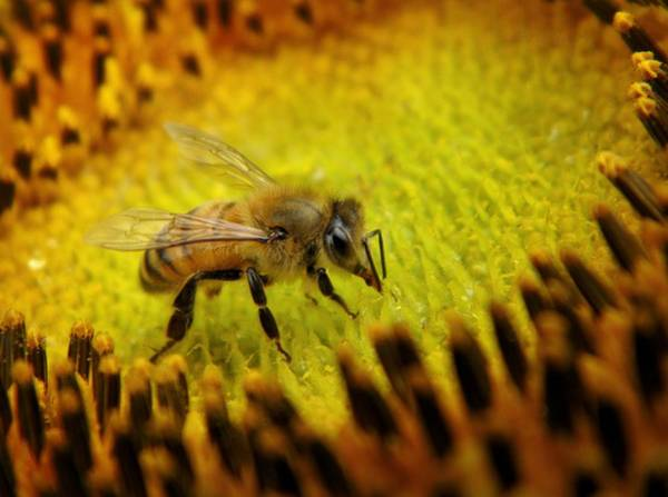 Wall Art - Photograph - Honeybee On Sunflower by Chris Berry