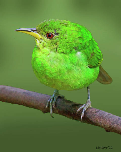 Photograph - Honeycreeper by Larry Linton