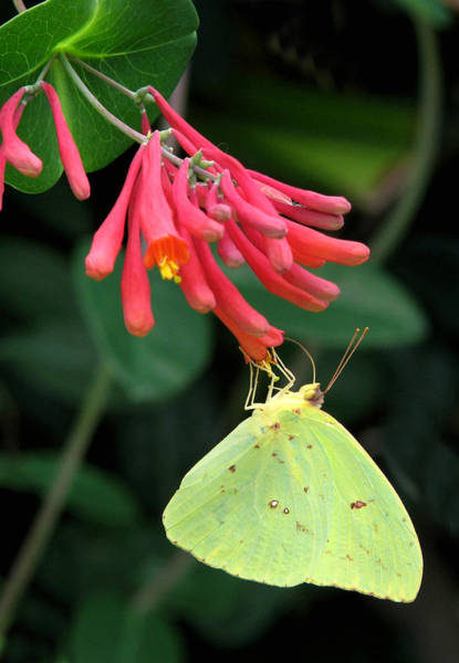Sulfur Butterfly Wall Art - Photograph - Honeysuckle Delight by Peg Urban