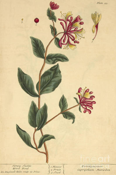 Caprifoliaceae Photograph - Honeysuckle, Medicinal Plant, 1737 by Science Source