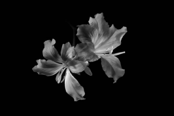 Photograph - Hong Kong Orchid 4b by Lou  Novick