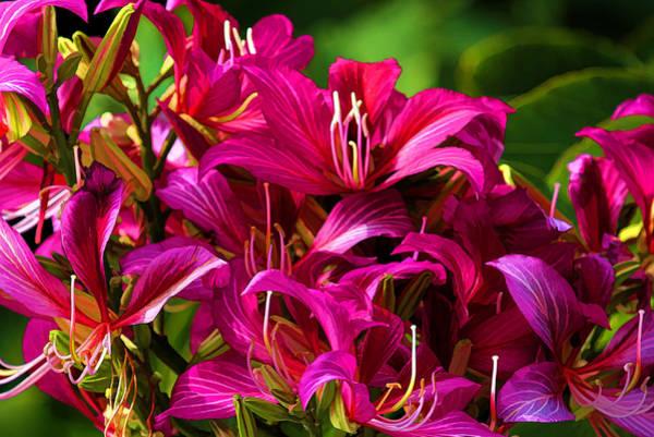 Hong Kong Orchid Photograph - Hong Kong Orchid By H H Photography Of Florida by HH Photography of Florida