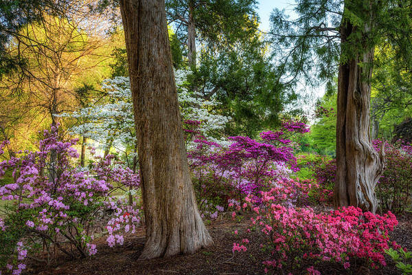 Honor Heights Park Photograph - Honor Heights Azeleas by James Barber