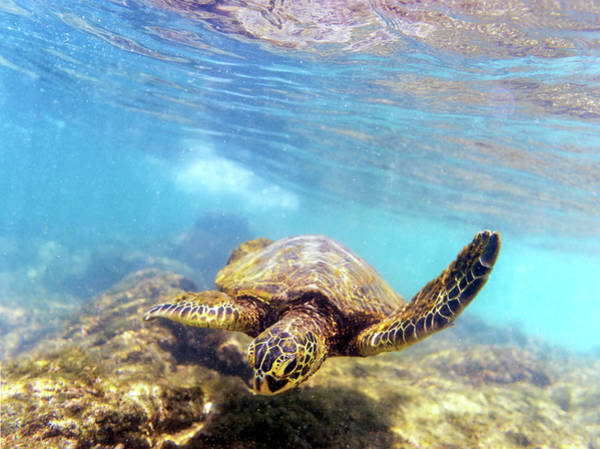 Photograph - Honu by Christopher Johnson