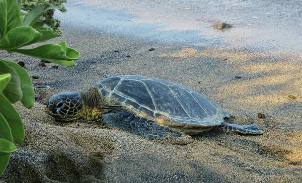 Photograph - Honu Finding Shade by Pamela Walton