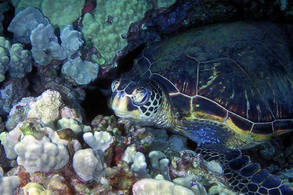 Photograph - Honu, Green Sea Turtle 2 by Pauline Walsh Jacobson