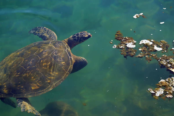 Photograph - Honu Having Lunch by Pamela Walton
