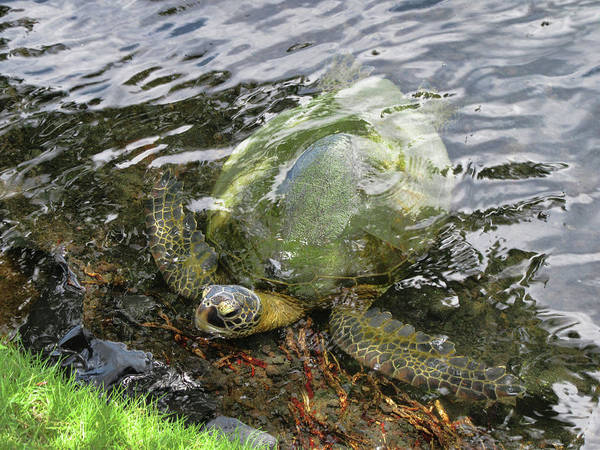Photograph - Honu Looking For Lunch by Pamela Walton