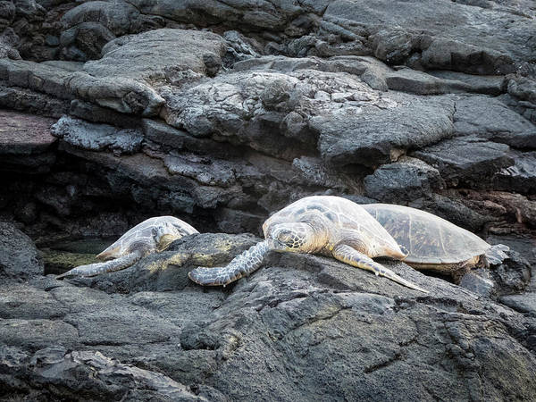 Photograph - Honu Or  Hawaiian Green Sea Turtles by Mary Lee Dereske