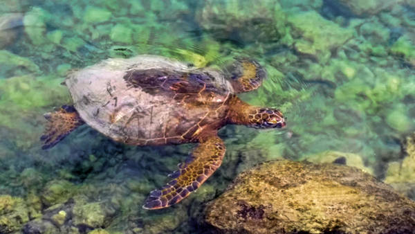 Photograph - Honu by Pamela Walton