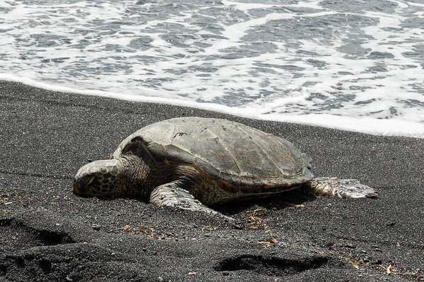 Photograph - Honu Sleeping On The Shoreline At Punalu'u by John Daly