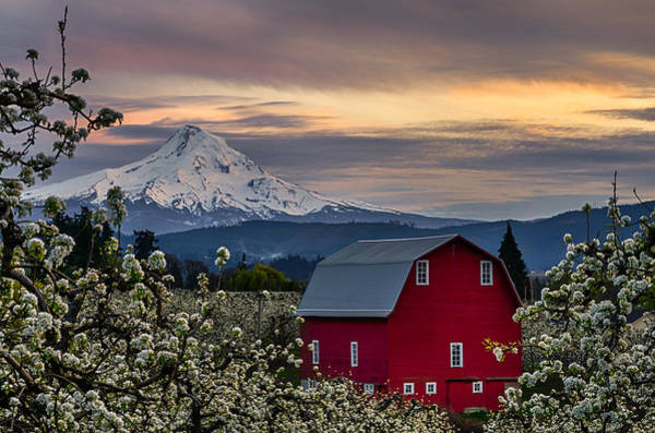 Mt Hood Photograph - Hood River Pear Orchard by Exquisite Oregon