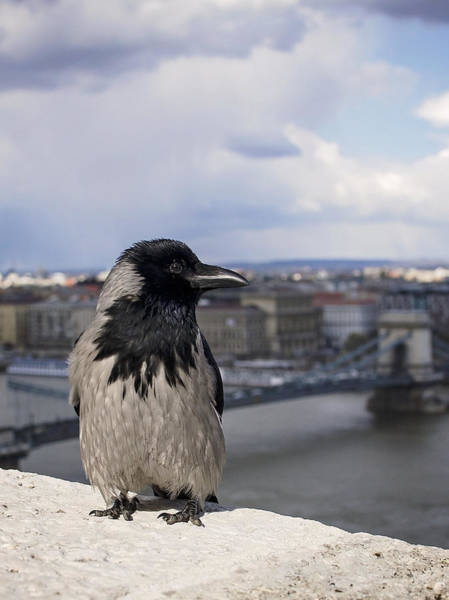 Photograph - Hooded Crow by Heather Applegate