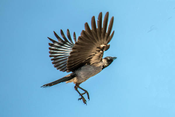 Photograph - Hooded Crow In Flight by William Bitman