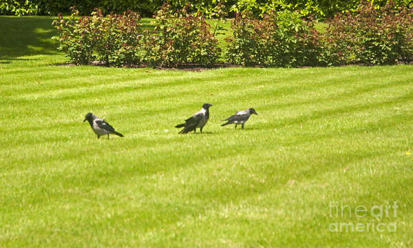 Photograph - Hooded Crows Ireland by Cindy Murphy - NightVisions