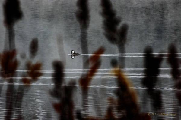 Photograph - Hooded Merganser by Albert Seger