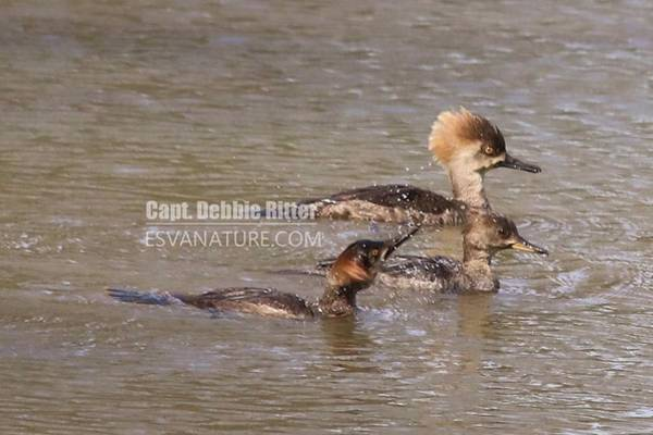 Photograph - Hooded Merganser 7844 by Captain Debbie Ritter