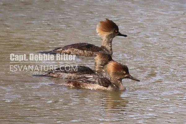 Photograph - Hooded Merganser 7846 by Captain Debbie Ritter