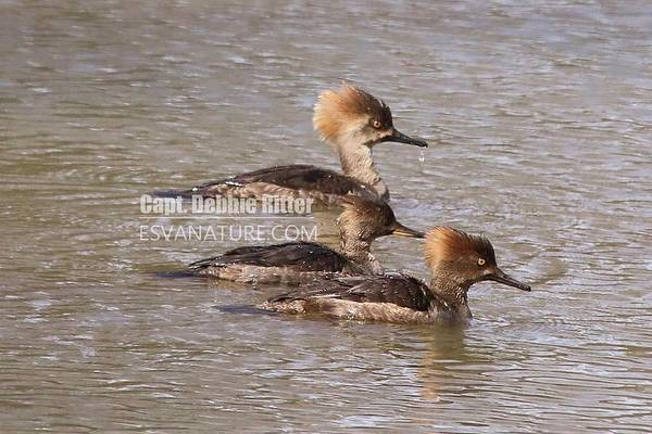 Photograph - Hooded Merganser 7847 by Captain Debbie Ritter