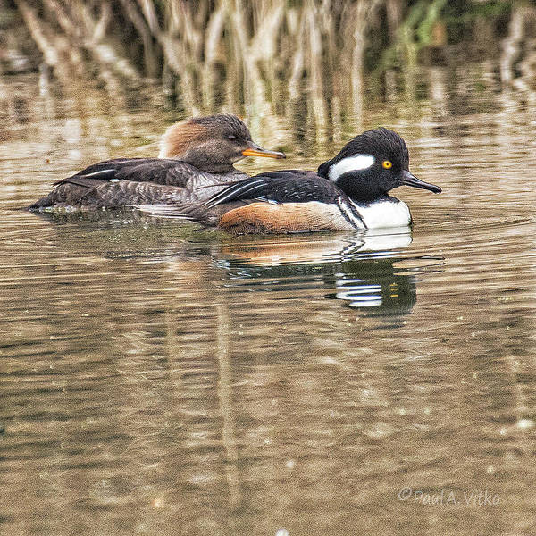 Photograph - Hooded Merganser..... by Paul Vitko