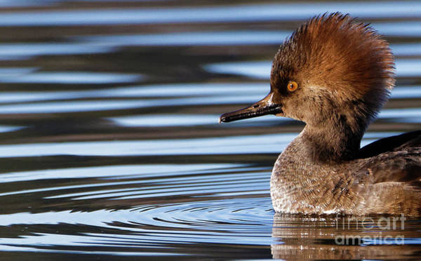 Photograph - Hooded Merganser Up Close by Sue Harper