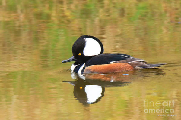 Wall Art - Photograph - Hooded Merganser by Winston Rockwell