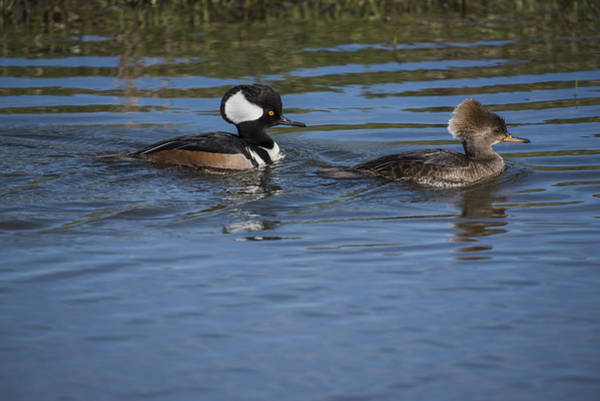 Photograph - Hooded Mergansers by Robert Potts