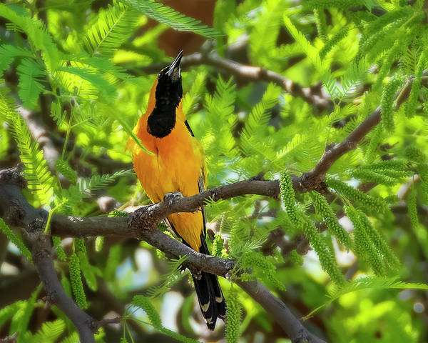 Photograph - Hooded Oriole H1845 by Mark Myhaver