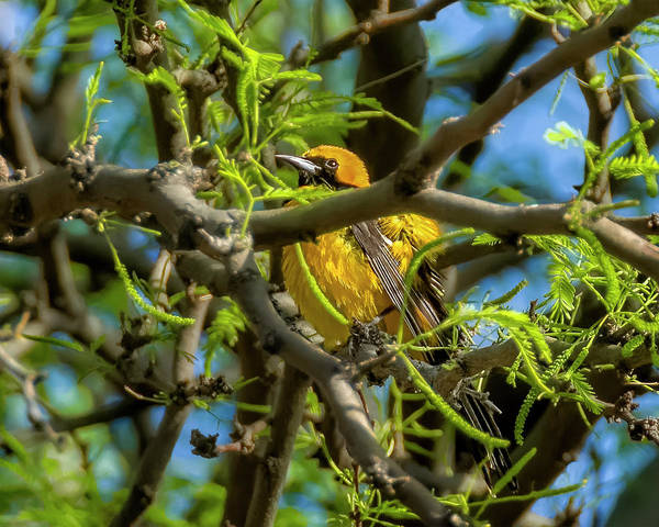 Photograph - Hooded Oriole V1840 by Mark Myhaver