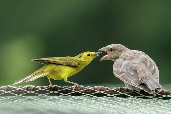Cowbird Photograph - Hooded Warbler Feeding Cowbird by Jurgen Lorenzen