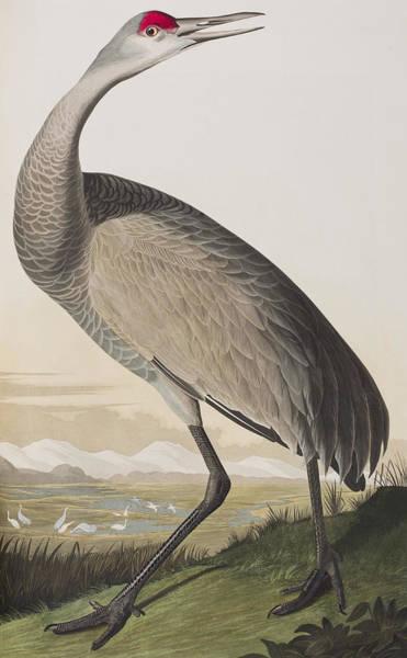 Hoop Wall Art - Painting - Hooping Crane by John James Audubon