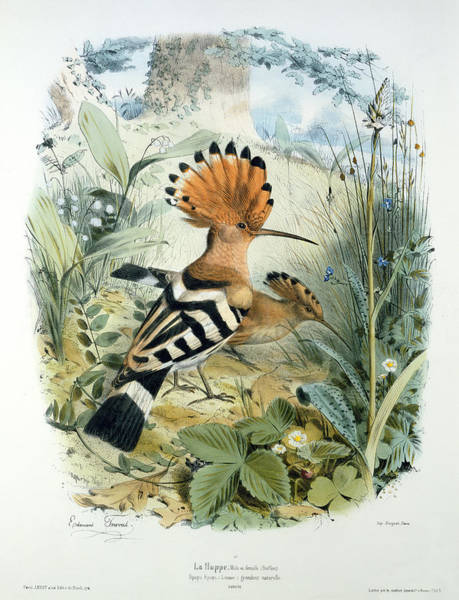 Exotic Drawing - Hoopoe by Edouard Travies