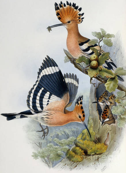 Stump Painting - Hoopoe by John Gould
