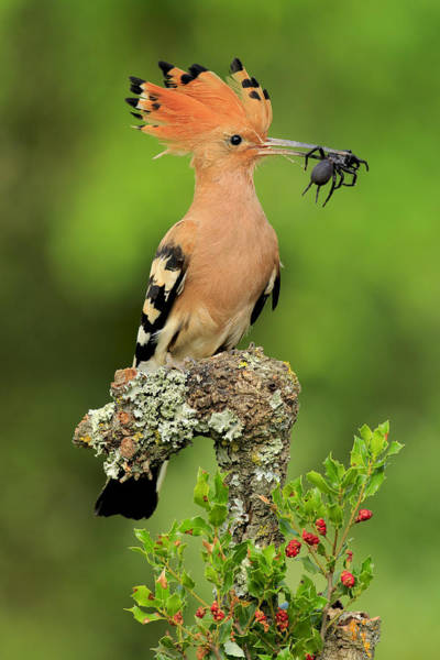 Insects Photograph - Hoopoe With Spider by Andres Miguel Dominguez