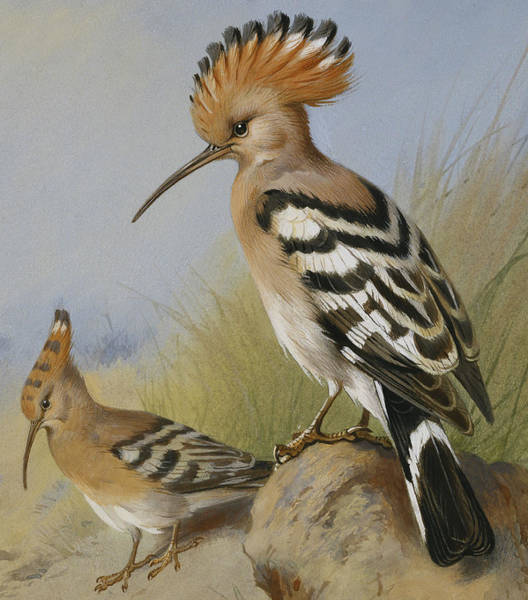 Wall Art - Painting - Hoopoes by Archibald Thorburn